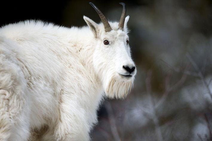 Biólogos temem que, sem nenhuma intervenção, as cabras-das-rochosas, que não são nativas do local e que ...