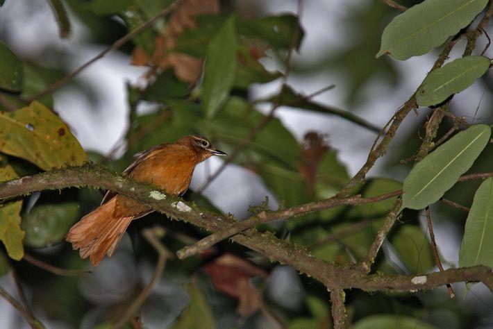 O limpa-folha-do-nordeste, antes encontrado no Nordeste do Brasil, também pode já estar extinto.