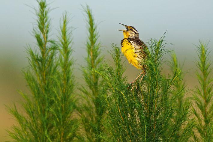 Um sturnella oriental empoleira-se em um galho de erva-doce, na Flórida. As aves de pastagens estão ...