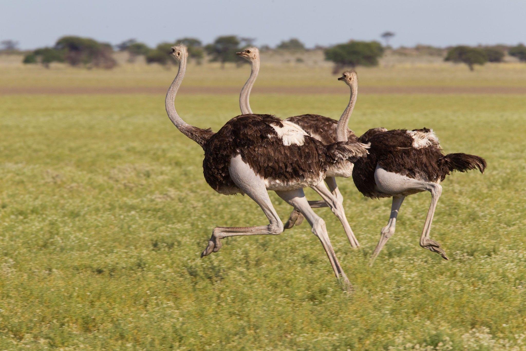 A maior ave que já existiu e outros 5 pássaros superpoderosos | National Geographic