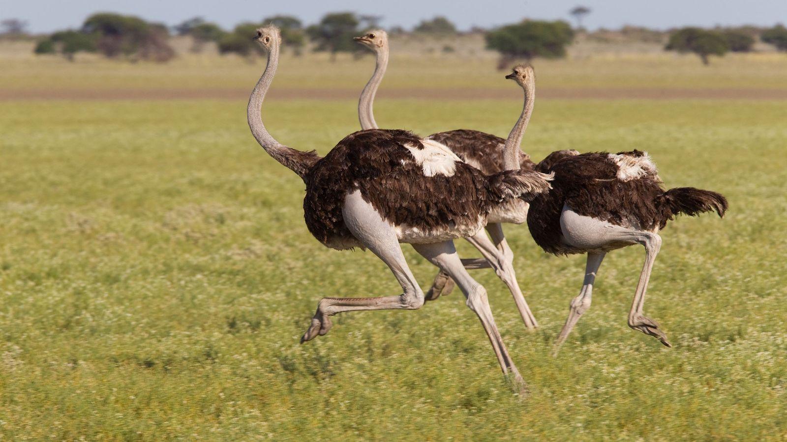 Trio de avestruzes aposta uma corrida no Central Kalahari Game Reserve, em Botsuana.