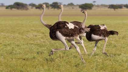 A maior ave que já existiu e outros 5 pássaros superpoderosos