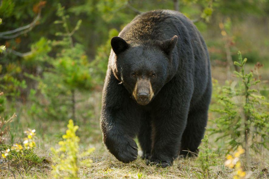Ursos-negros não são conhecidos pela agressividade, mas alguns ataques ocorrem ocasionalmente.
