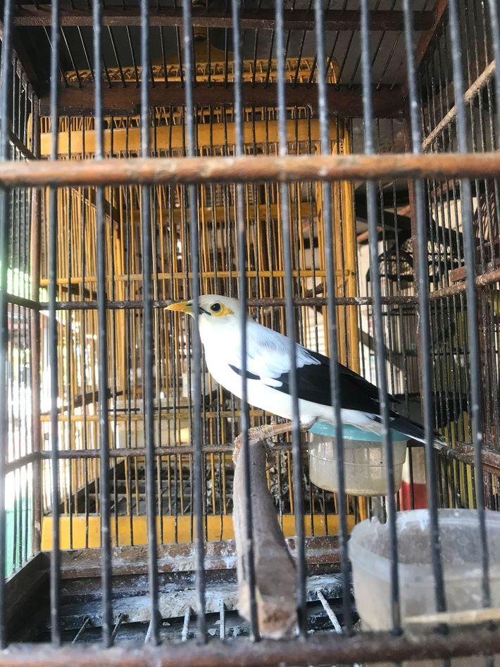 Pesquisadores contaram mais de 1,2 mil mynahs de asas negras à venda em mercados de aves ...