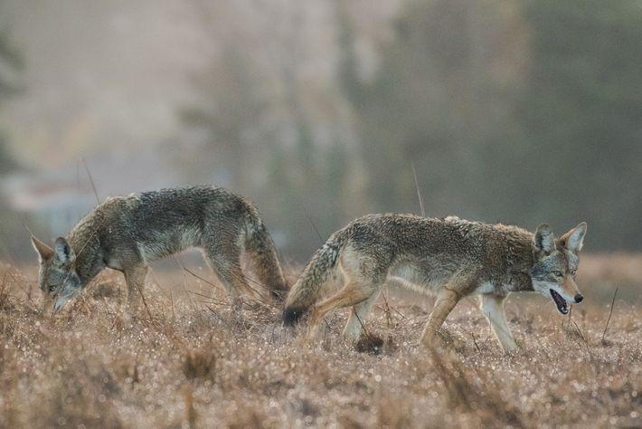 Dois coiotes de olhos azuis, possivelmente irmãos, procuram por alimentos em um campo logo antes do ...