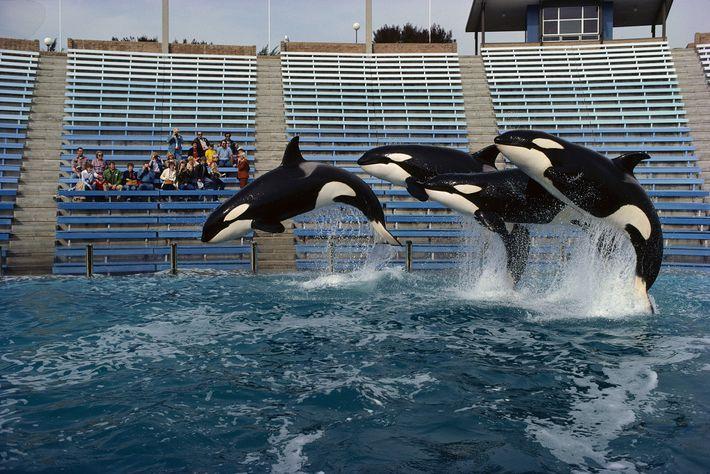 Um trio de orcas pula no Sea World em San Diego, na Califórnia. No passado, grupos ...