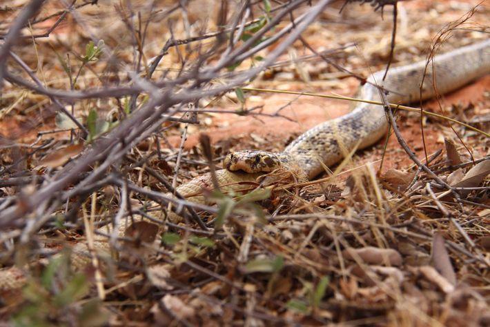 Uma cobra-do-cabo macho consome um macho menor da mesma espécie na África do Sul, uma amostra ...