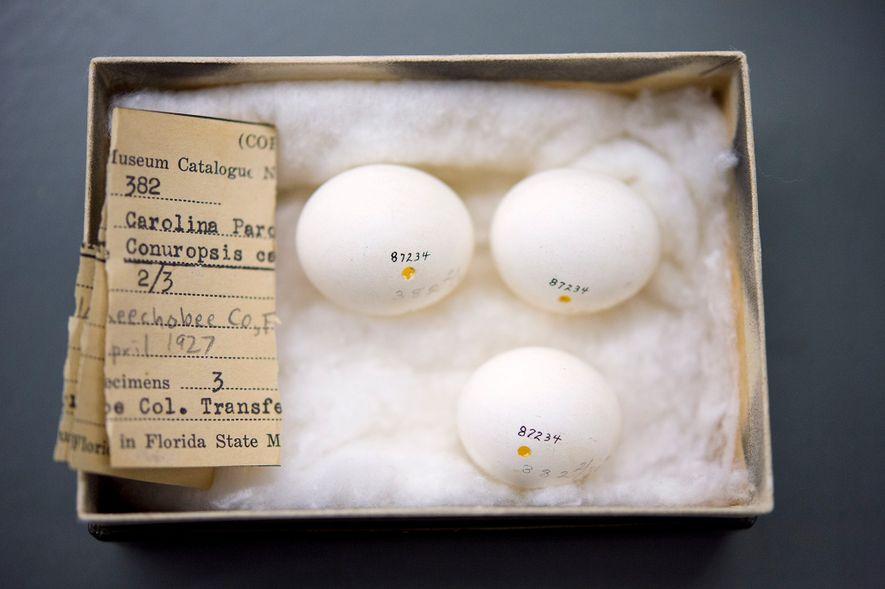 Os últimos ovos de um periquito-da-carolina em cativeiro, mantidos no Centro McGuire de Lepidópteros e Biodiversidade, ...
