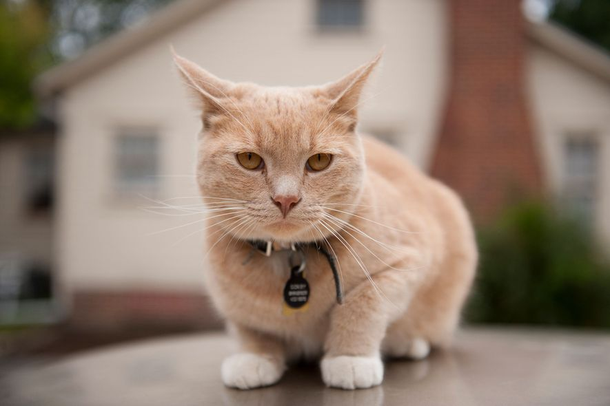 Os gatos (na foto, um felino sobre um carro em Lincoln, Nebraska) nem sempre são independentes ...