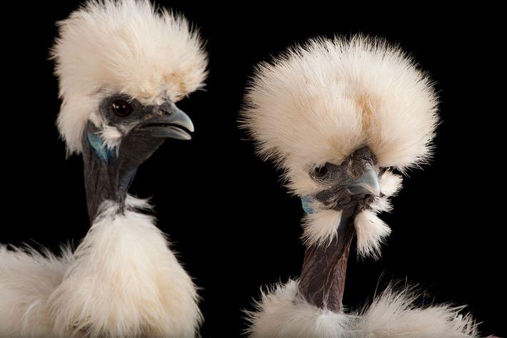Galinhas da raça sedosa, também pretas por dentro e por fora. Elas foram fotografadas no zoológico ...