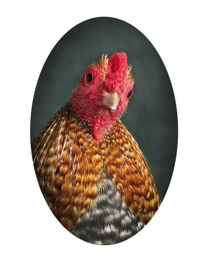 galinhas-especies-crele