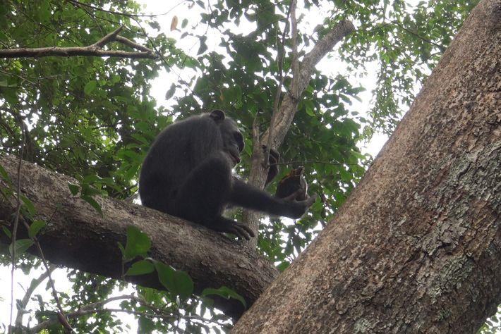 Gia, uma chimpanzé fêmea, tentou abrir uma tartaruga duas vezes e não conseguiu. Mas um chimpanzé ...