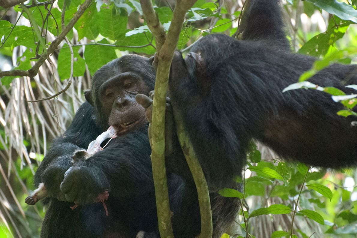 Chimpanzés comem cérebro de macacos bebês. Saiba o porquê