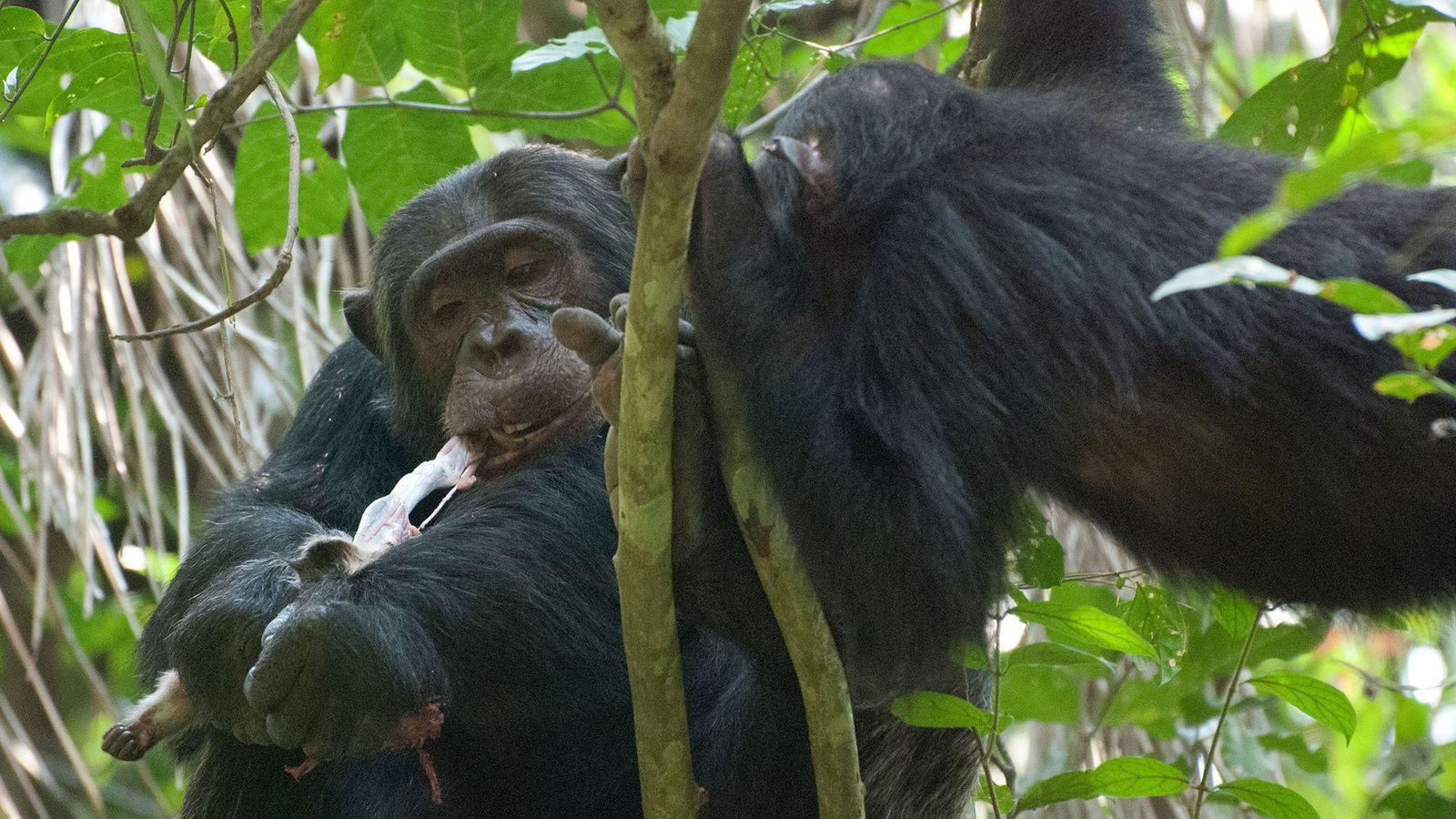 Chimpanzé come macaco colobus na Tanzânia