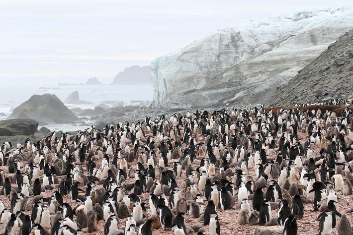 Uma colônia de pinguins-de-barbicha se reúne na costa sul da Ilha Elefante. Essa é a espécie ...