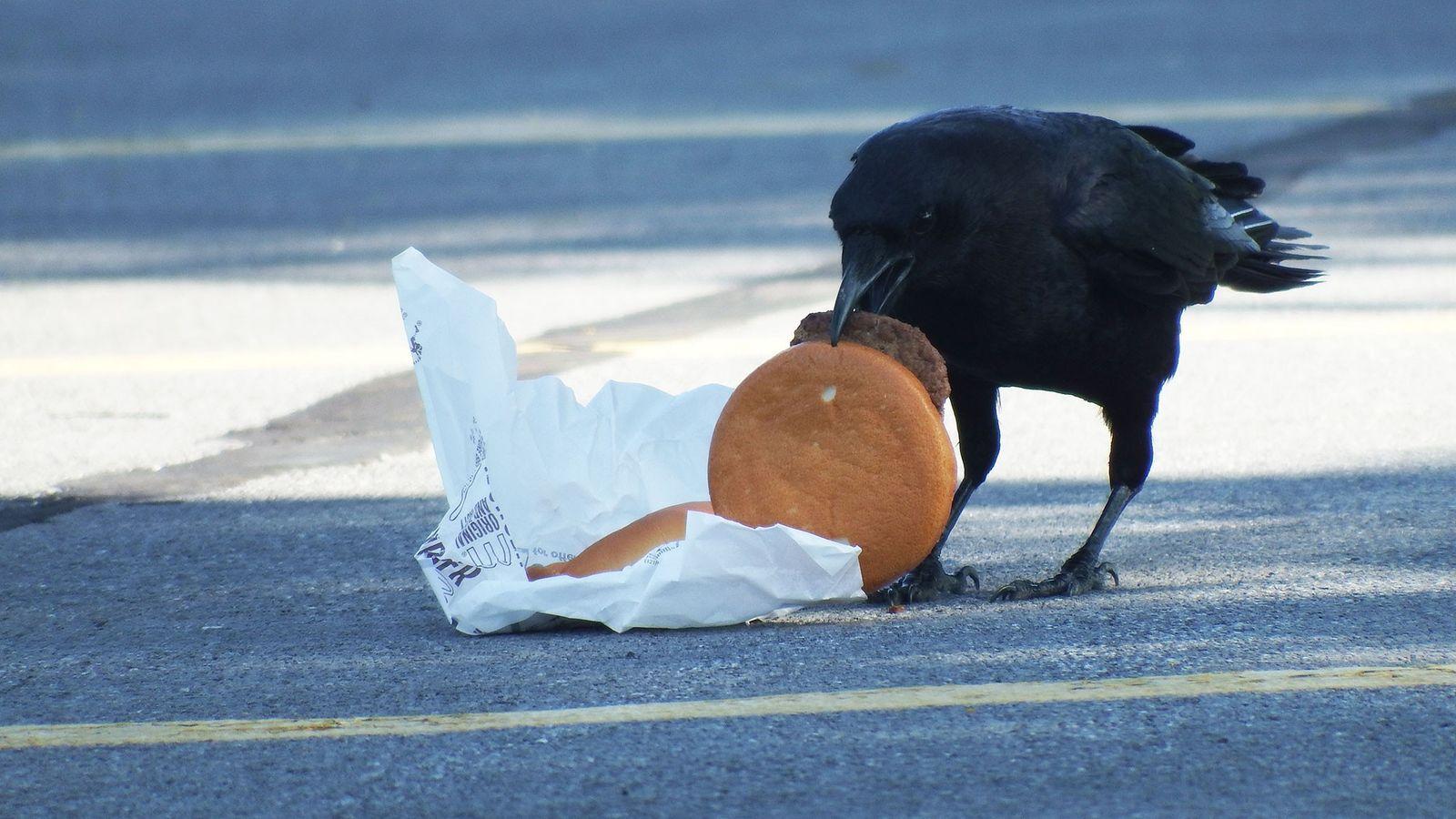 Cientistas alimentaram corvos com cheeseburgueres para saber se comer restos de alimentos humanos afeta a sobrevivência ...