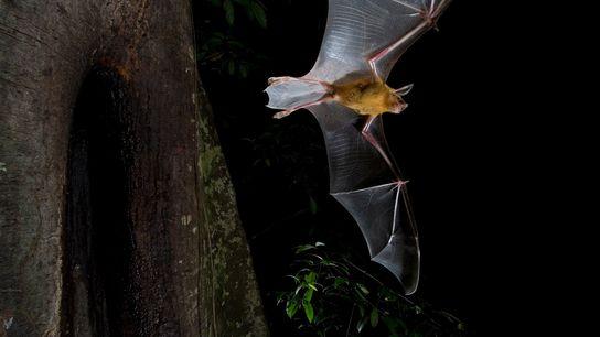 Os morcegos, como esse grande morcego-buldogue que pega peixes com os pés, são normalmente criaturas noturnas. ...