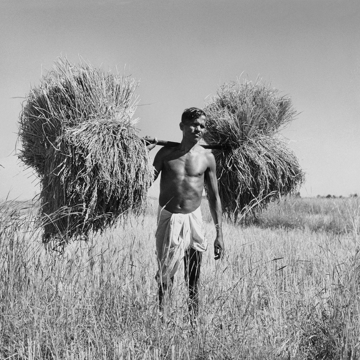Um apanhador de arroz volta para casa com cerca de 36 quilos sobre os ombros.