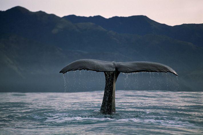 Os cachalotes (na foto, na Nova Zelândia) podem ser identificados por pequenas diferenças no tamanho, formato ...