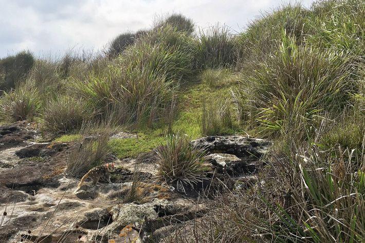 Os quolls foram levados à extinção na Austrália devido a uma mistura de doenças e predadores ...