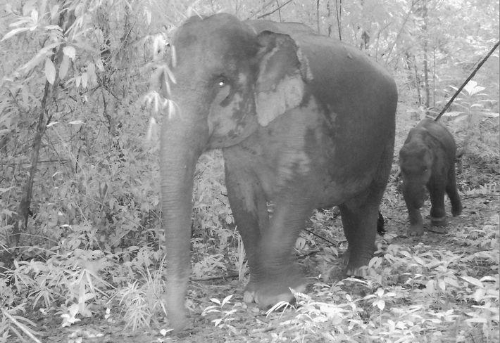 Filhotes de elefantes asiáticos, com suas pernas mais curtas, estão mais sujeitos aos ferimentos do que ...