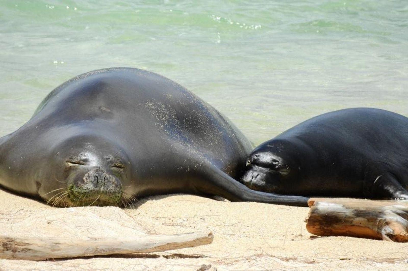 Parasita da areia do gato está destruindo a foca mais rara da Terra