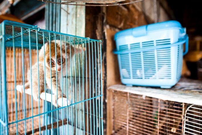 Lóris-preguiçosos são vendidos abertamente no Mercado Borito em Jacarta, Indonésia, apesar de serem protegidos por lei.