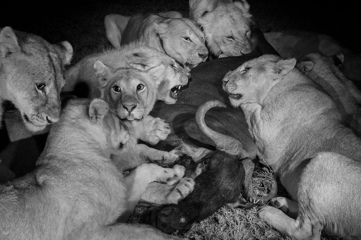 As fêmeas adultas e os grandes filhotes do orgulho Vumbi se alimentam de um gnu no ...