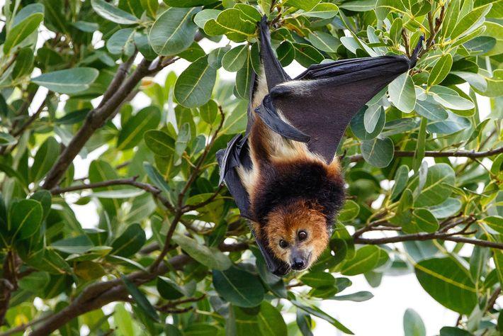 A população de raposas-voadoras foi reduzida em mais de 50% desde que o país passou a ...