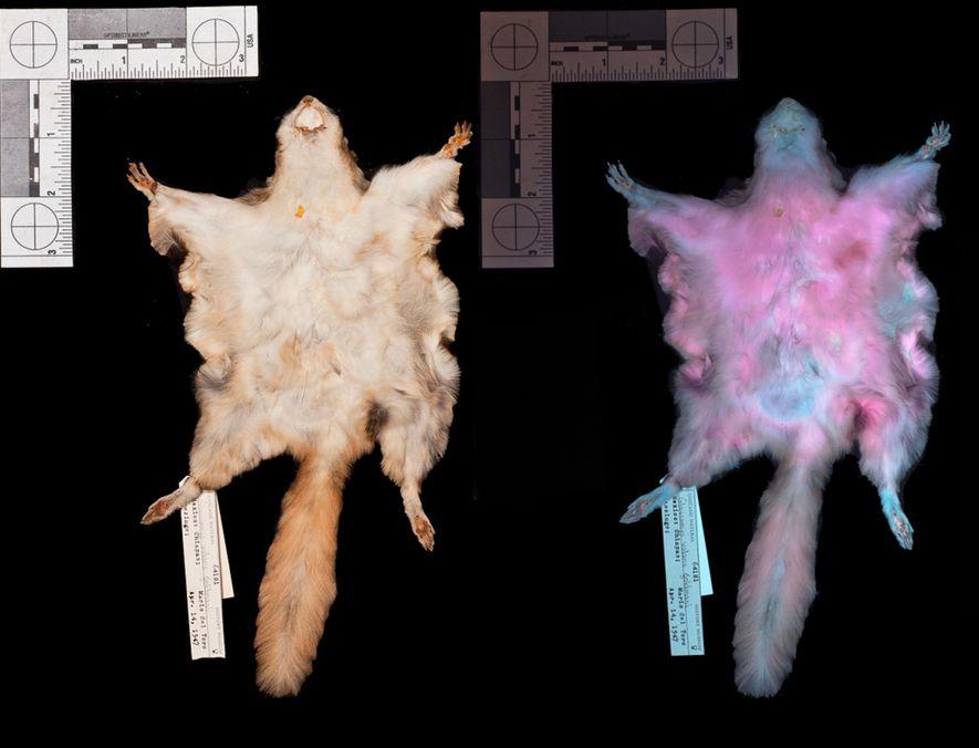 Pele do esquilo-voador do sul (Glaucomys volans) sob luz visível e luz ultravioleta (direita), demonstrando fluorescência ...