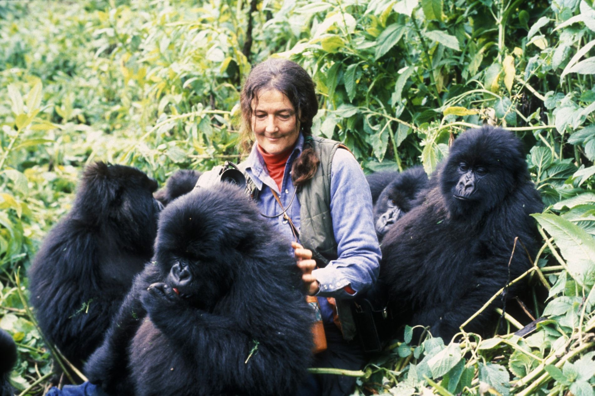 Accepted without question by young members of Group 5, one of several families living near Karisoke Research Centre on Rwanda's lush Mount Visoke, Dian Fossey coaxes Tuck to turn around for a photograph. She informs the group of her approach with a belch vocalization, one of Gorilla gorilla beringei's signals ranging from harsh pig grunts of disapproval to sharp hoot barks of alarm. To put them at ease, she also imitates chest beating, eating, scratching, and grooming. She can then observe their natural feeding habits, track their movements, and listen in on their bickering and play.