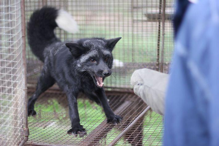 O cruzamento de raposas para produção de animais dóceis provocou alterações anatômicas associadas à domesticação, como ...