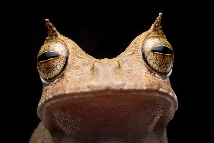 """A perereca-marsupial-de-chifre não foi vista no Equador de 2005 a 2018. Suas """"sobrancelhas"""" em forma de ..."""