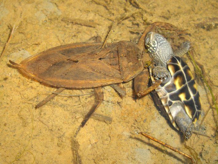 Kirkaldyia deyrolli devorando uma tartaruga — uma observação rara.