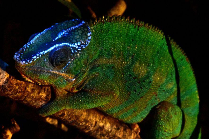 Iluminado por luz ultravioleta, este camaleão brilha.