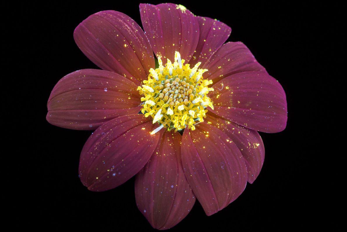 brilho-invisivel-das-flores-luz-ultravioleta-girassol-mexicano