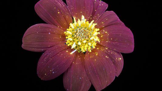 Imagens incríveis revelam o brilho invisível das flores