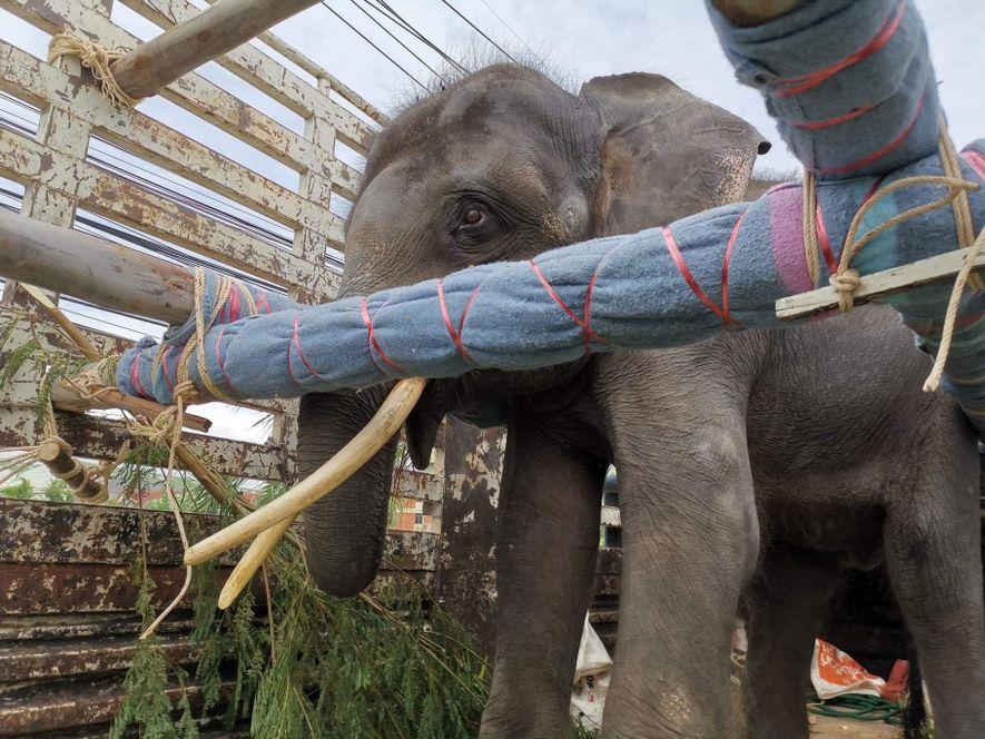 Gluay Hom no caminhão de transporte durante sua viagem de 14 horas. O caminhão foi equipado com vigas de madeira, enchimento de espuma e muita comida de elefante.