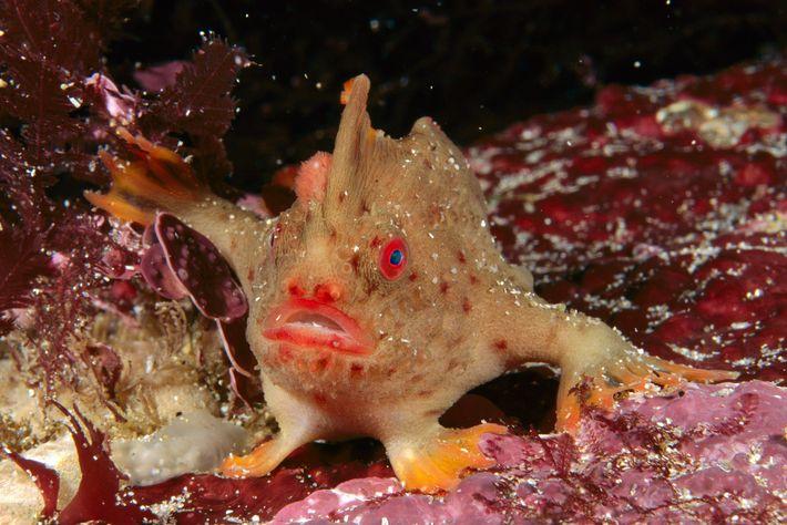 """Assim como os outros peixes-mão, o peixe-mão vermelho possui barbatanas peitorais modificadas que lhe permitem """"caminhar"""" ..."""