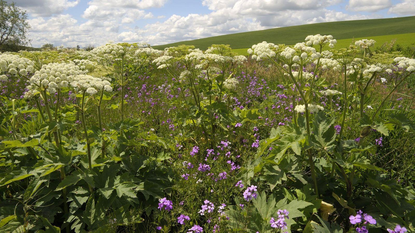 Hogweeds crescem entre flores silvestres no estado de Washington. A planta já foi vista no Noroeste ...
