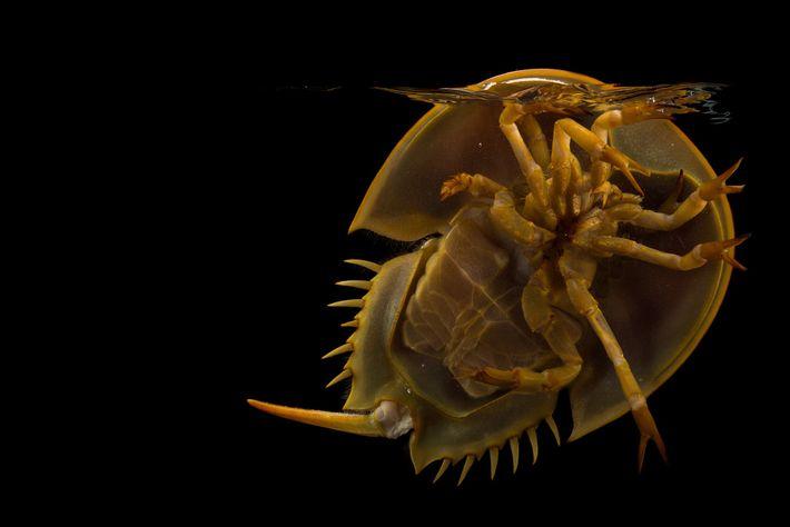 Caranguejos-ferradura, encontrados nos oceanos do mundo todo, são comuns nas praias do leste dos EUA.