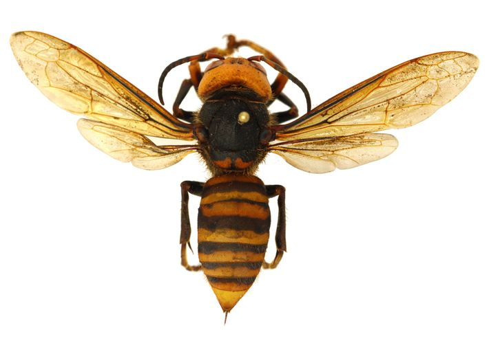 Asian giant hornets have long stingers capable of piercing the protective gear normally worn by beekeepers. ...