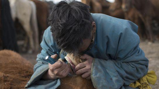 Em uma prática que vem sendo utilizada na Mongólia por pelo menos 2,5 mil anos, um ...