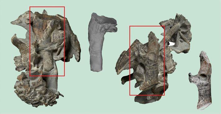 ossos encontrados de pinguim do tamanho de um ser humano