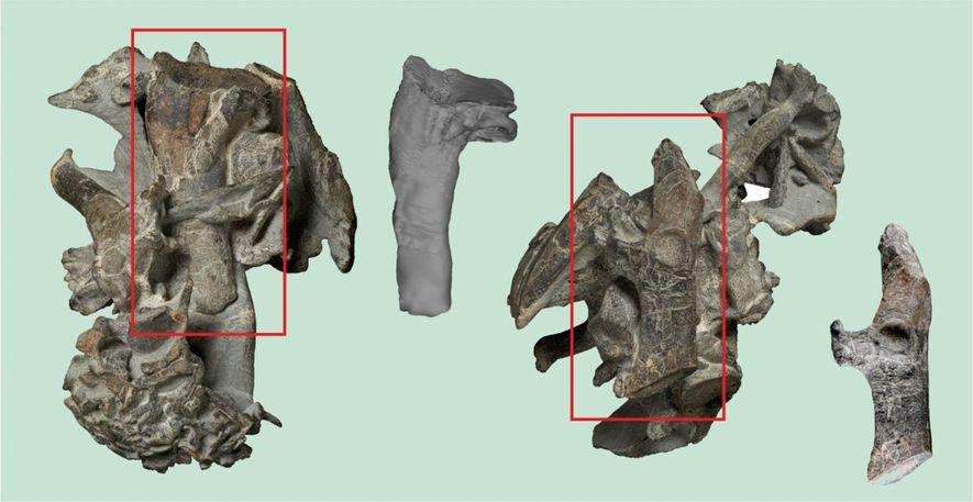O esqueleto parcialmente preparado do pinguim gigante do Paleoceno, Kumimanu biceae. Os retângulos enfatizam o úmero ...
