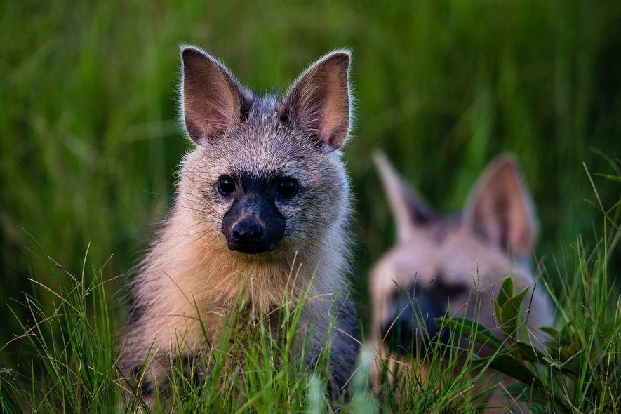Um lobo-da-terra e seu filhote saem da toca em Duba Plains Camp, em Botsuana.