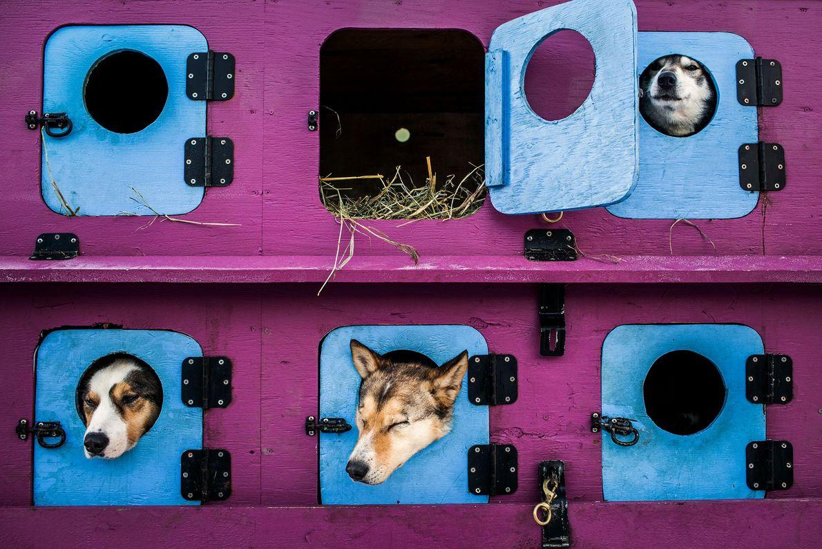Cães puxadores de trenó descansam dentro de seu caminhão de transporte antes da cerimônia de início ...