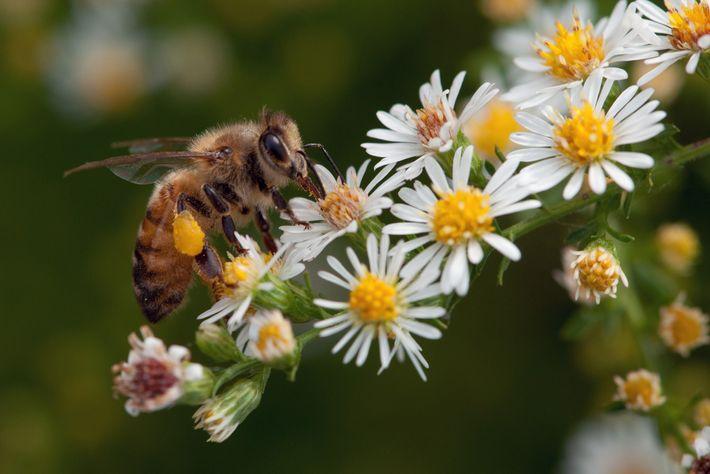 As abelhas e criaturas semelhantes polinizam mais de um terço das nossas culturas alimentares, o que ...