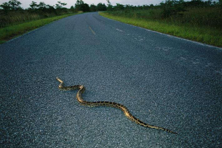 Uma píton-birmanesa cruza uma estrada na Flórida. Nativa do sudeste da Ásia, agora estima-se que dezenas ...