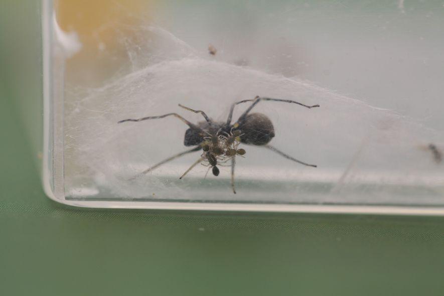 Um grupo de filhotes de aranhas, com três dias de idade, pode ser visto embaixo de ...
